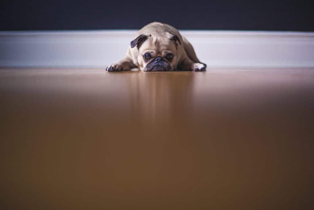 small dog lying on floor looking sad