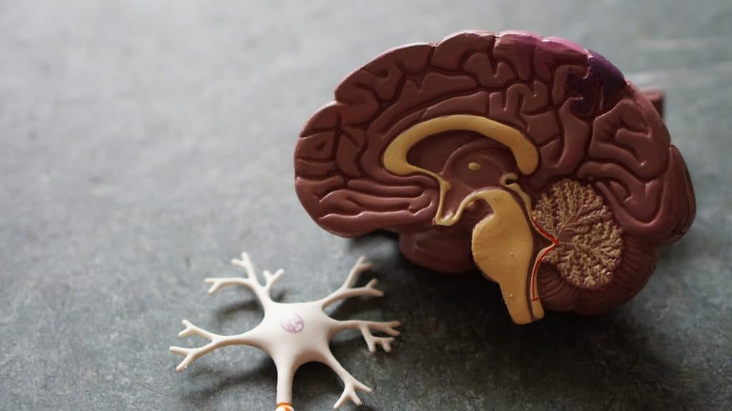 model of a brain and a neuron