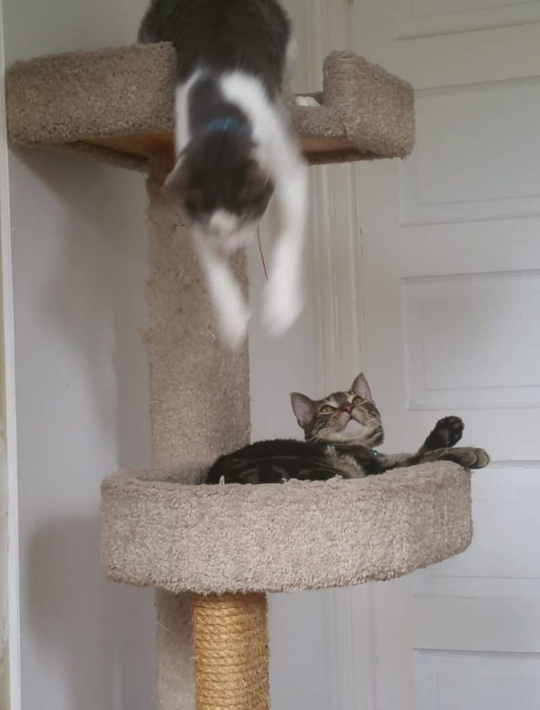 Cat tree with two platforms. Rorschach-gray and white- leans down from the upper platform with paws outstretched, while Nigel-brown sparkle tabby- looks up in relative surprise.