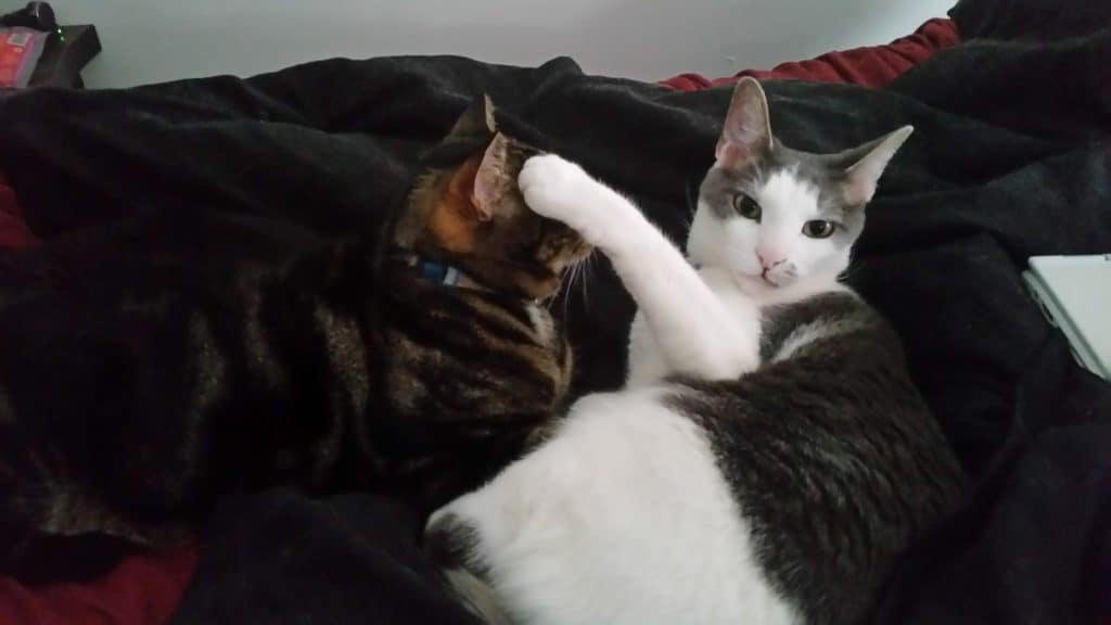 Rorschach-a gray and white cat - looks at the camera with a relatively innocent expression on his face. Next to him, Nigel- a brown sparkle-tabby - is looking at Rorschach. Rorschach has his front left paw resting on Nigels face, blocking it from view.
