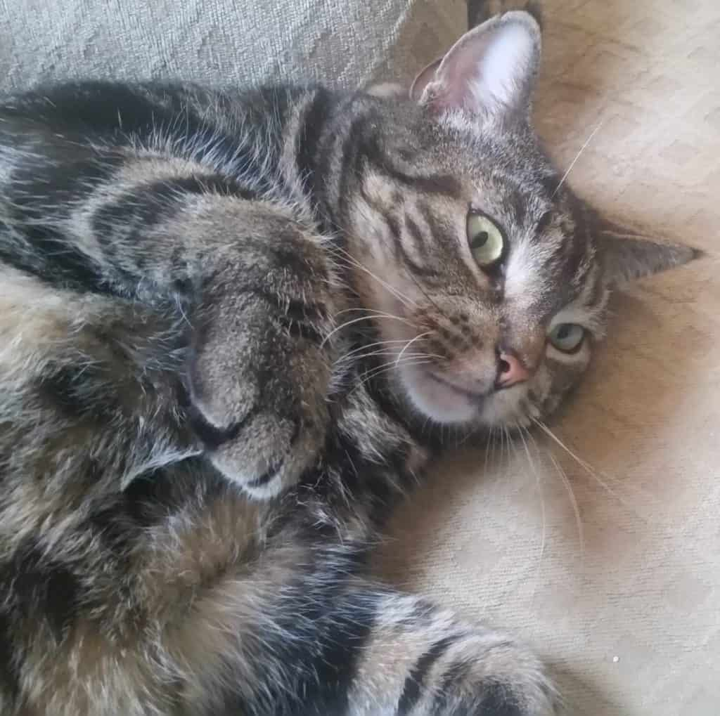 brown tabby cat lies on back with paws in the air, a shocked expression on his face