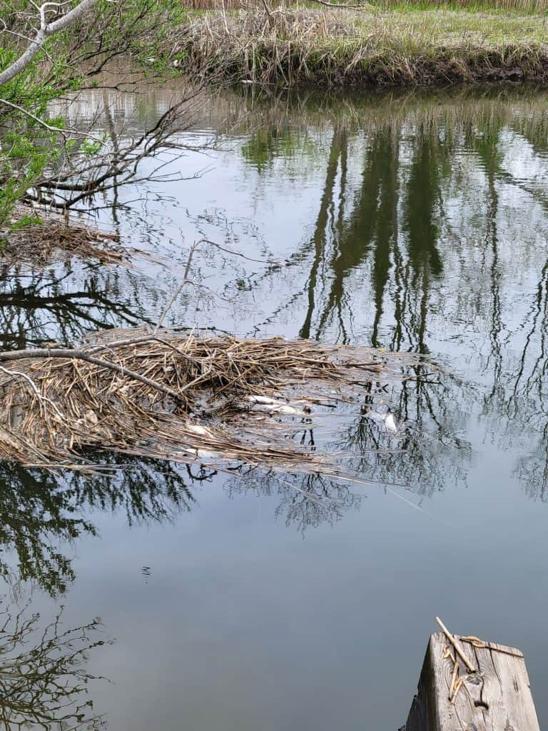 A collection of debris in the tidal stream.  Notably, there are several fish corpses mixed in with the marsh grass and other detritus.