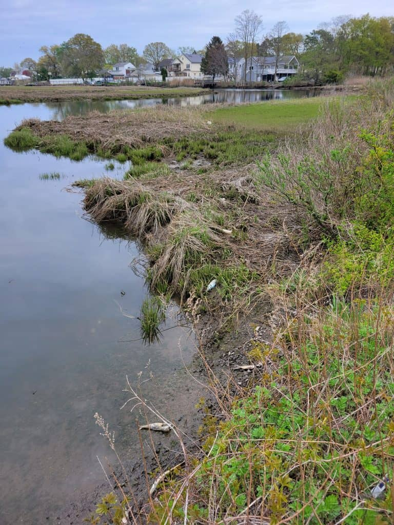 A pretty marsh waterline at mid-tide is marred by menhaden bodies