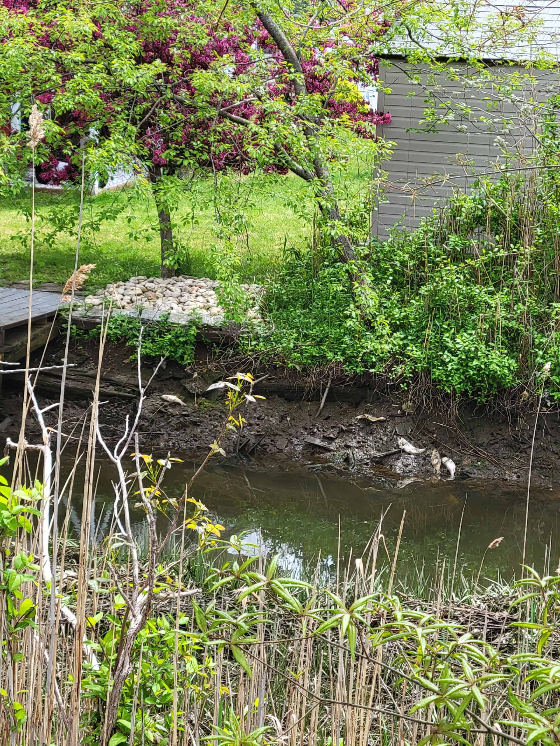 a manicured back yard stands on the bank of a tidal creek. Clumps of dead fish lie at the waterline