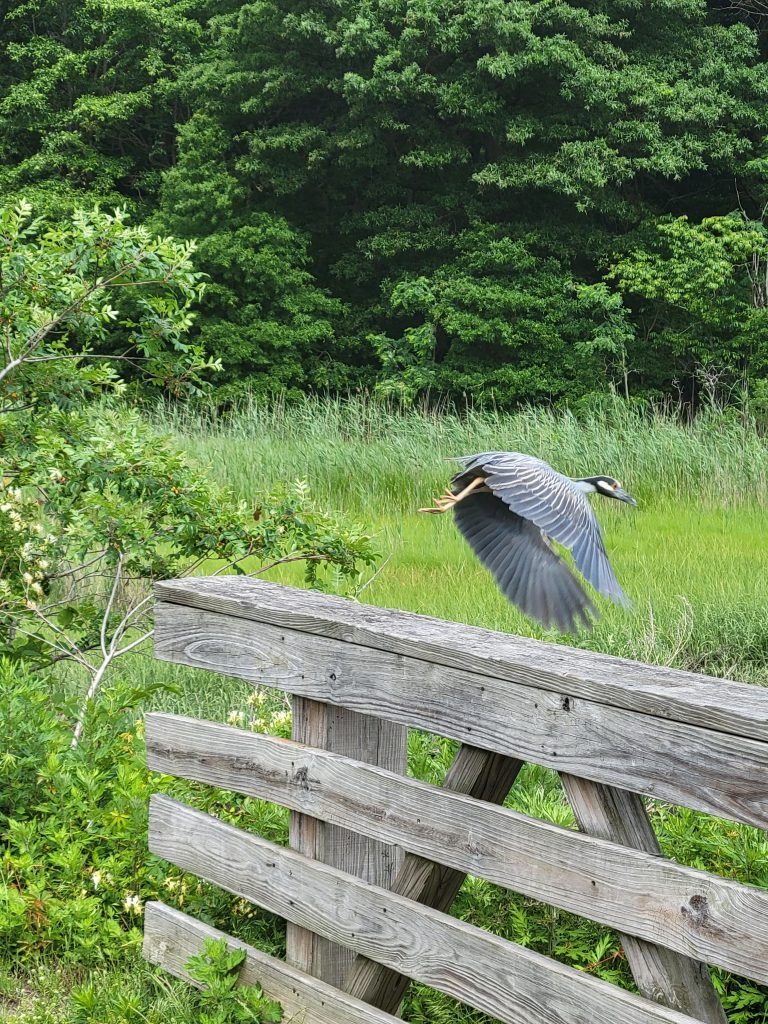 a yellow-crowned night heron takes off from a bridge railing with green marshland in the background.